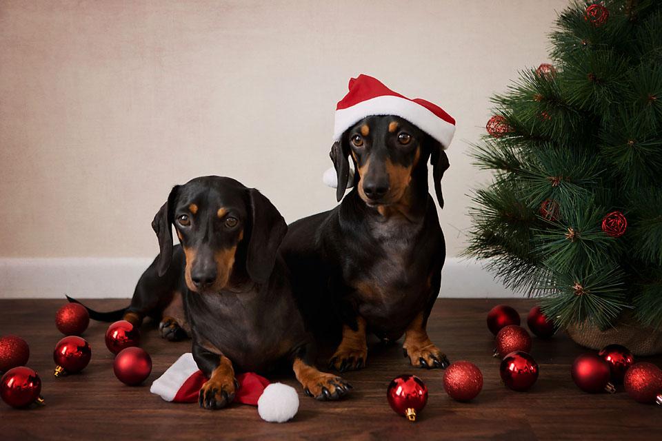 Brisbane Christmas Pet Photography